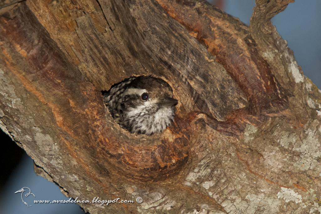 Carpintero bataraz chico (Checkered Woodpecker) Picoides mixtus