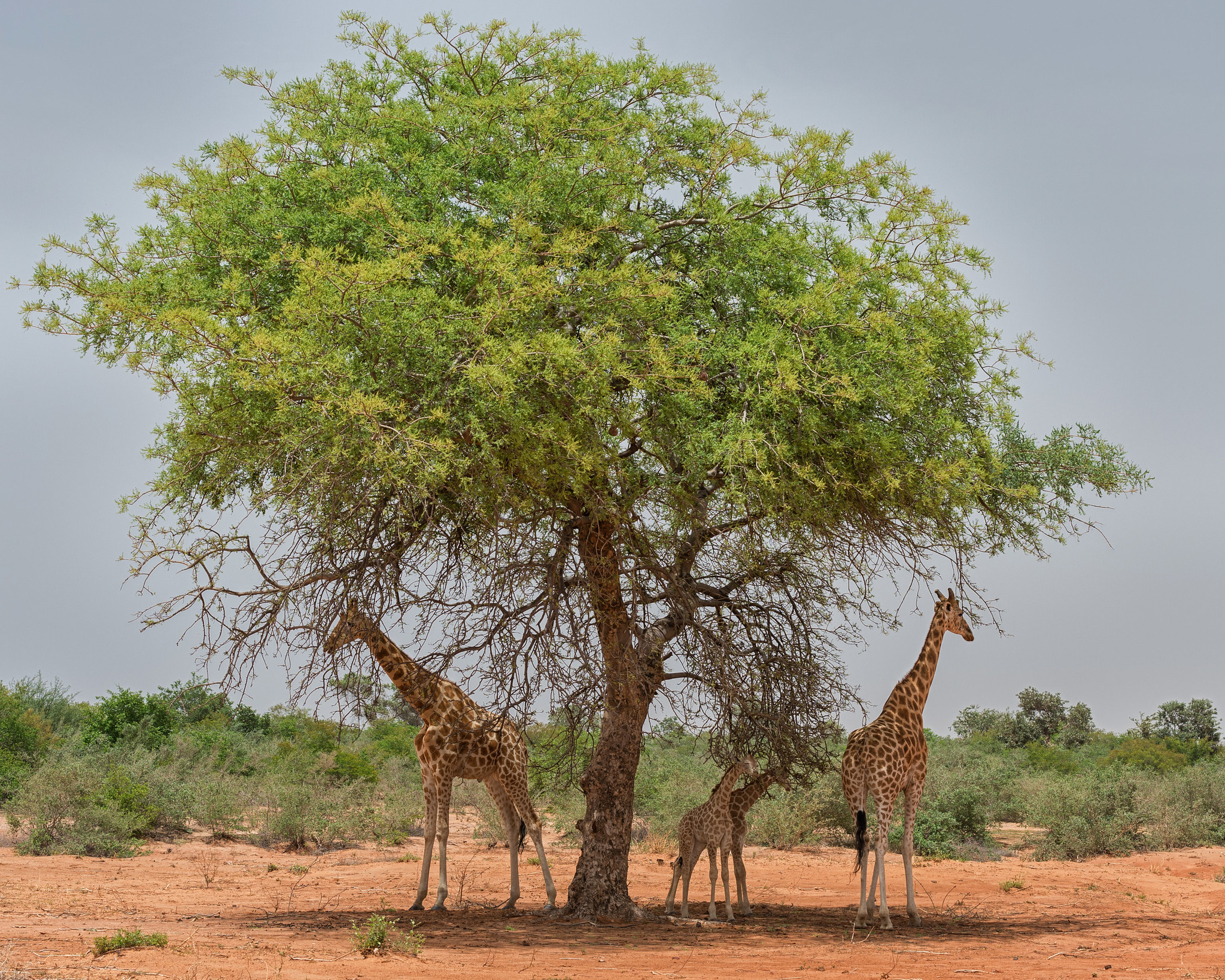Giraffes in the Shade