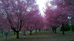 Cherry Blossoms In Flushing Meadows