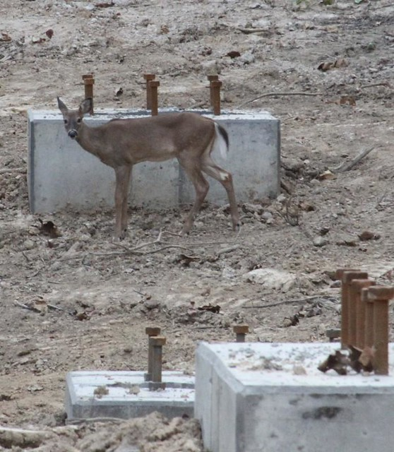 A deer visits the construction site