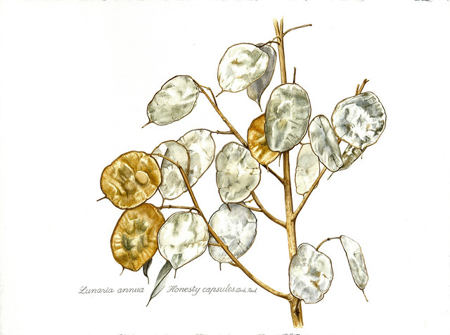 Dick Rauh, Lunaria annua, 2014. Watercolor on 300 lb. hot press paper.