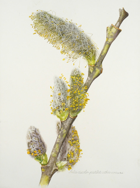 Dick Rauh, Salix discolor Pistillate Catkins, 2014. Watercolor on 300 lb. hot press paper.