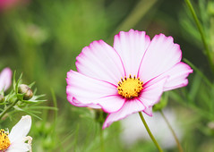 annual plant, flower, garden cosmos, yellow, plant, nature, macro photography, flora, close-up, plant stem, cosmos, pink, petal,