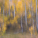 Aspen Abstract, Bishop Canyon (Eastern Sierra) by Robin Black Photography
