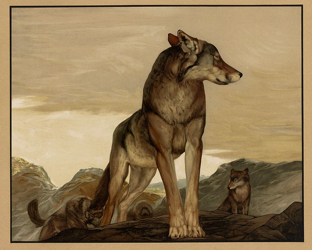 001-Akela el lobo solitario-Sixteen illustrations of subjects from Kipling's Jungle Book-1903 -Library of Congress