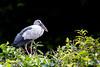 Asian Openbill Stork