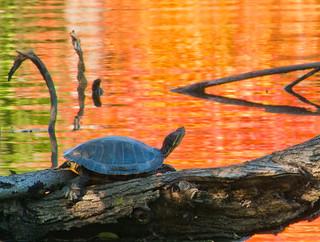 Morton Arboretum_2014 10 09_0083_e2_Turtle at Lake Marmo