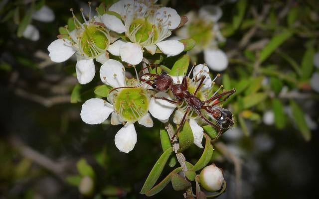 Bull Ant & Tea Tree