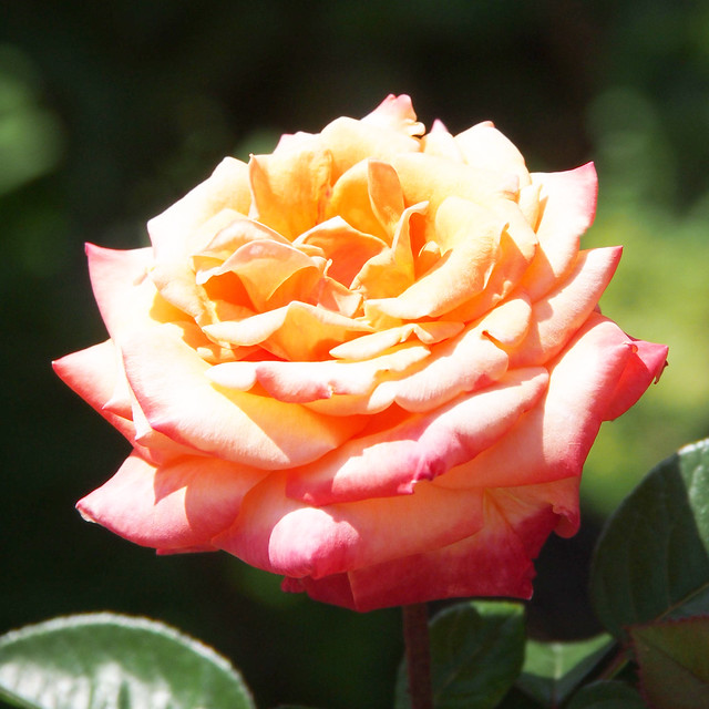 Photo:Rose, Anniversary Fukuyama, バラ, アニバーサリー ふくやま, By T.Kiya