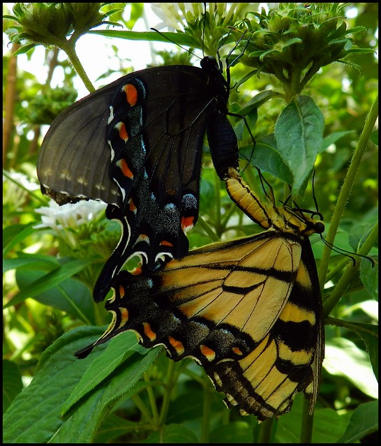 Mating Butterflies | Flickr - Photo Sharing!