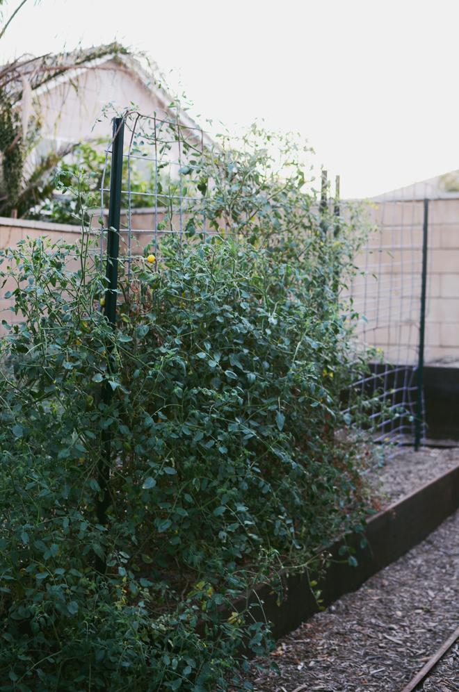 tomato garden 2014