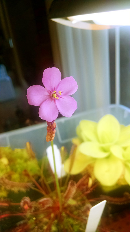Drosera capensis red form flower.