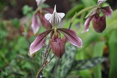 Paphiopedilum purpuratum