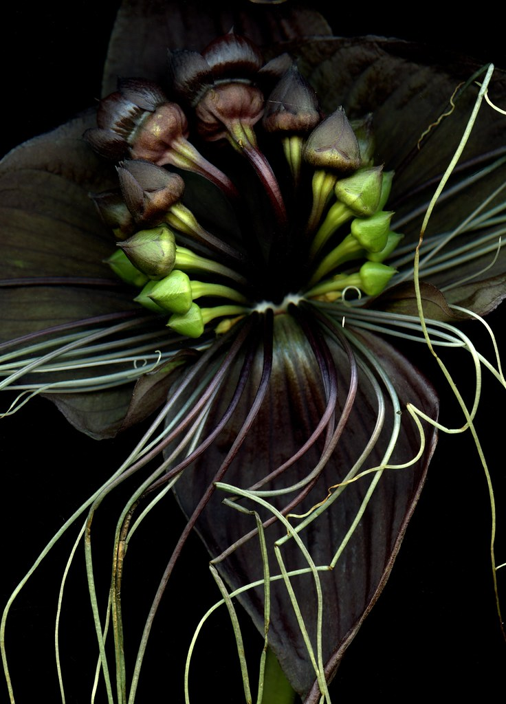 56232.02 Tacca chantrieri from Fred Michel on flickr
