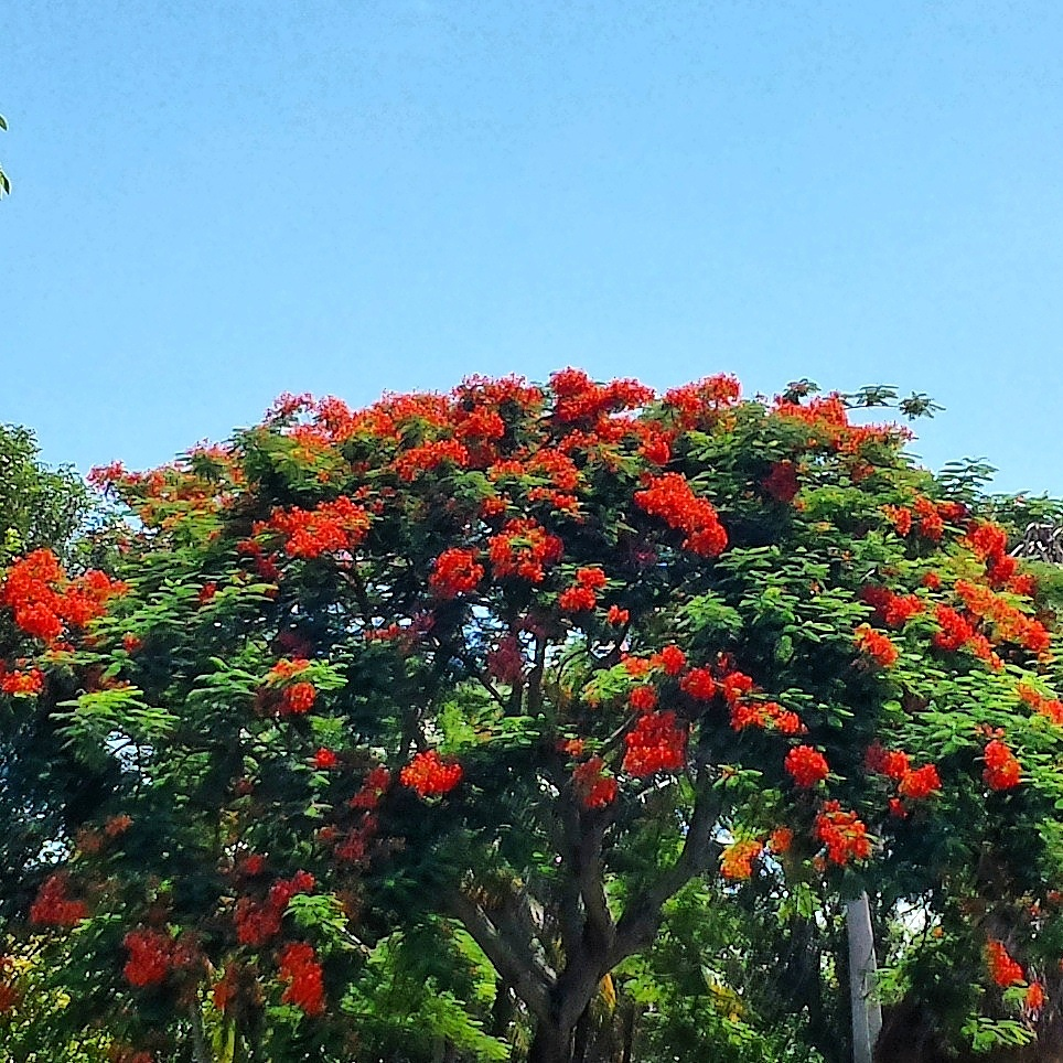 Flamboyant Tree, early September