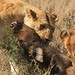 Serengeti National Park - Lion Kill!