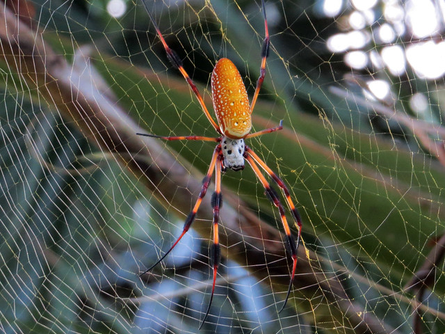 Golden Silk Orb-weaver | Nephila sp.