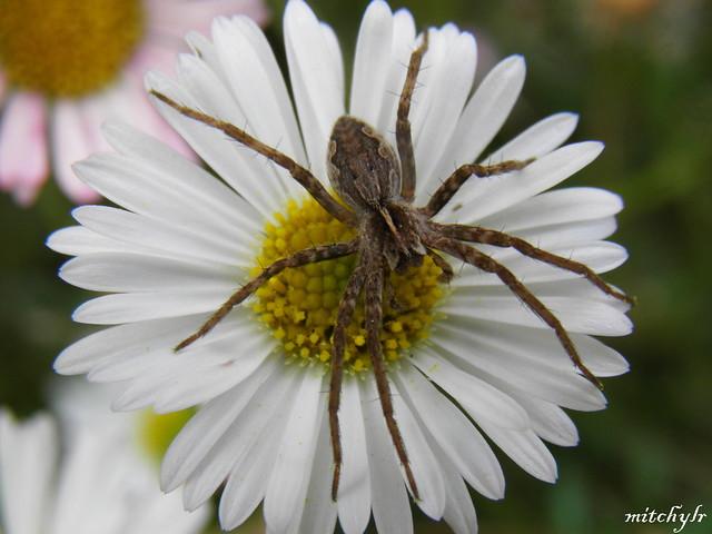 Arachnid On A Daisy 2
