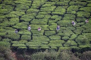 Tea Pickers - D7K_6519_ep