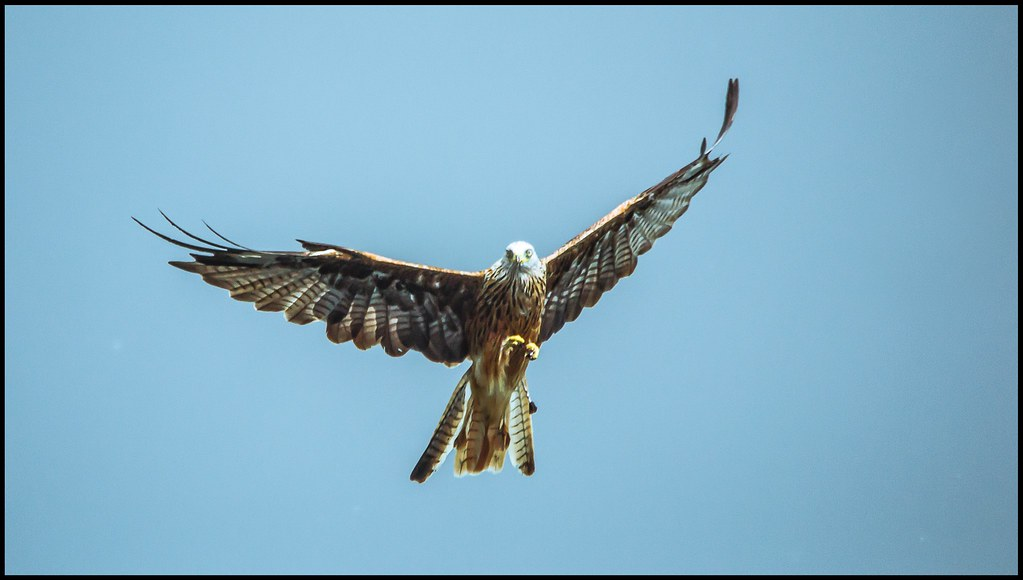Red Kite flying high and proud