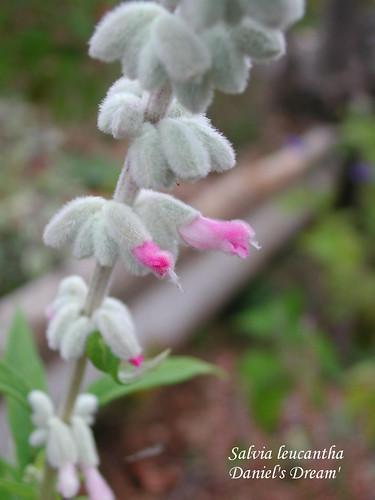Salvia leucantha 'Daniel's Dream'