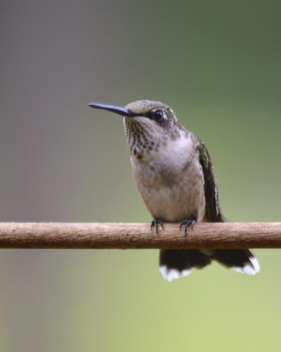 Juvenile Male Ruby-Throated Hummingbird Perched (explored)
