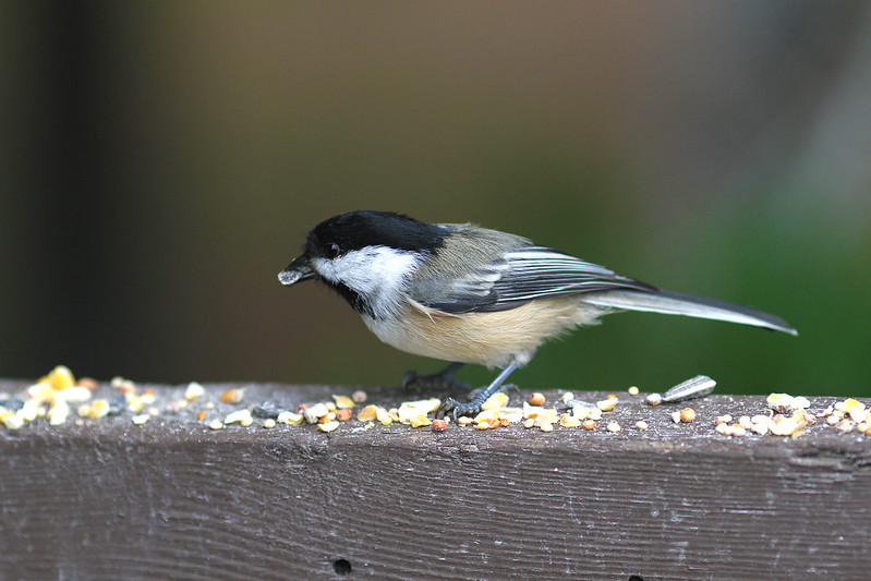 sweet chickadee2