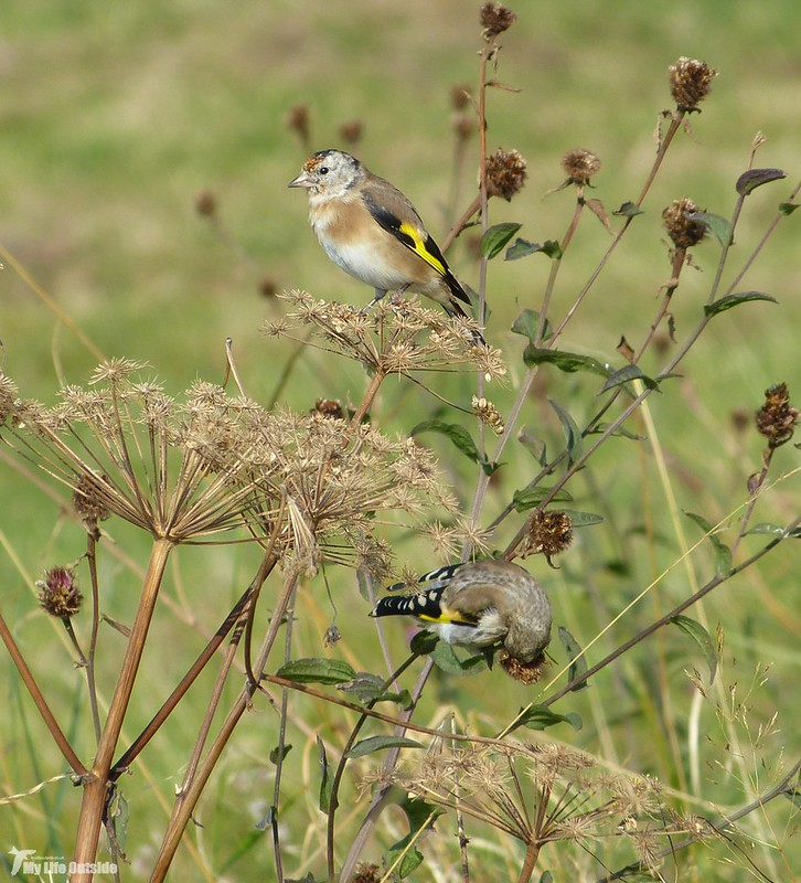 P1090106_2 - Goldfinches, Isle of Mull