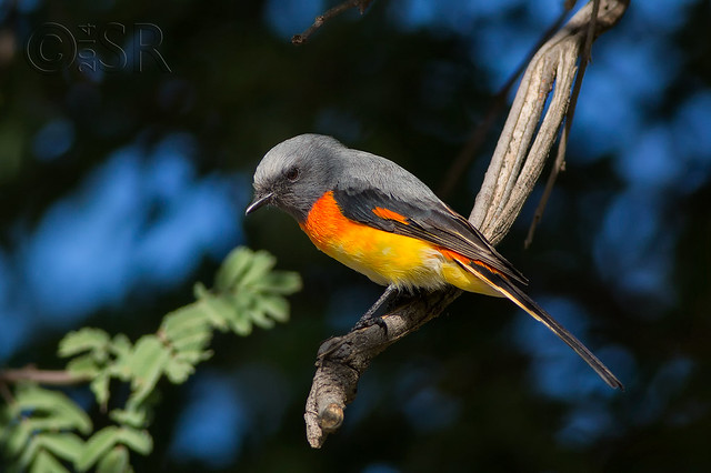 Small Minivet - the competition winner