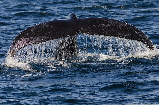 Whale watch Tweed coast
