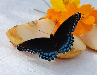Butterfly With Fruit and Flowers