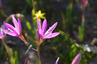 Hesperantha sp.