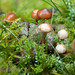 Psilocybe coprophila (Strophariaceae) by -- Green Light Images --
