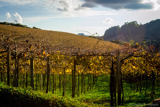 Vineyards from Brazil from Flickr via Wylio