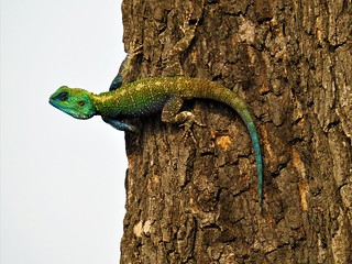 Blue Throated Agama (Agama atricollis) 6