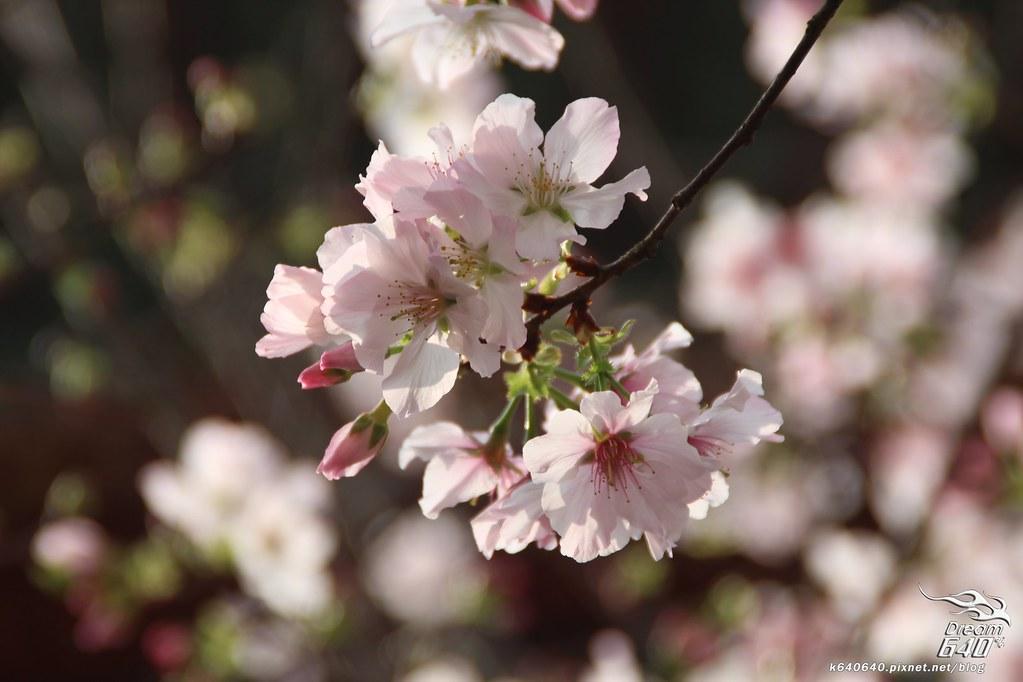 淡水天元宮櫻花-23
