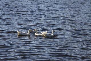 Ducks at Innsbrook