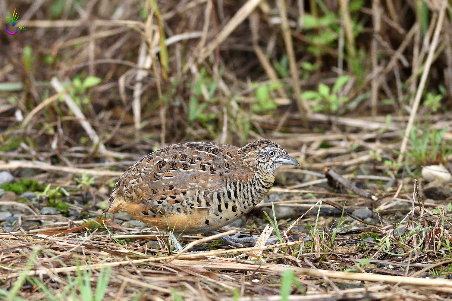 Barred_Buttonquail_7146