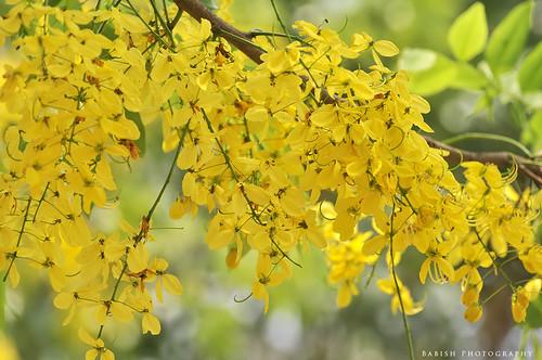 kanikkonna വിഷുക്കൊന്ന കണിക്കൊന്ന cassiafistula goldenraintree bahava goldenshowertree vishukonna vishu kerala kochi cochin flower flowerphotography nikon nikond90