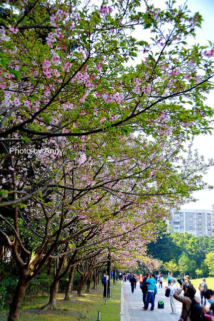 自由廣場大漁櫻31