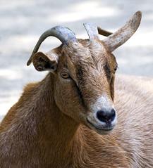 Memphis Zoo 08-31-2016 - Nigerian Dwarf Goat 4