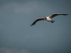 Black-headed gull; Lachmöwe (4:3)