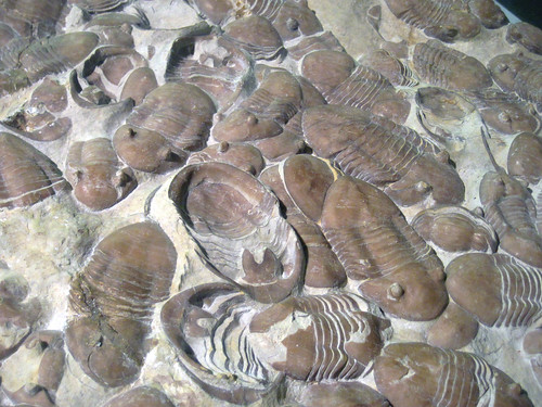 Homotelus bromidensis fossil trilobites (Bromide Formation, Middle Ordovician; Criner Hills, southeastern Carter County, southern Oklahoma, USA) 3