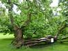 Baum im Hofgarten von Innsbruck