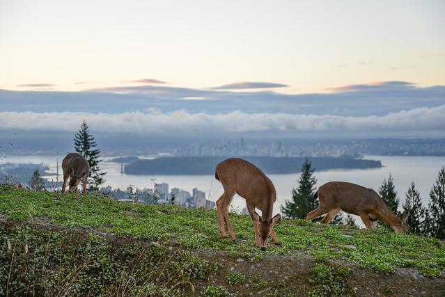 3 deer near the Cypress Mountain lookout - September 30, 2014