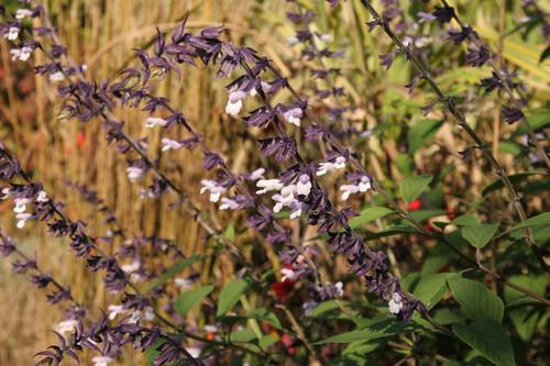 Salvia Phyllis Fancy