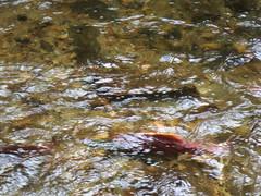 Salmon in Deep Creek