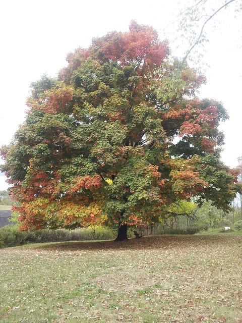 October 2, maple tree