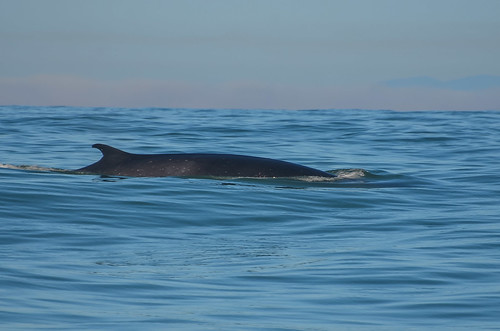 <p><i>Balaenoptera physalus</i>, Balaenopteridae<br /> Pelagic Zone, off Tofino, British Columbia, Canada<br /> Nikon D5100, 70-300 mm f/4.5-5.6<br /> September 20, 2014</p>