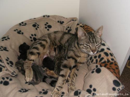 Wed, Sep 24th, 2014 Lost Female Cat - Shallon, Julianstown, Meath